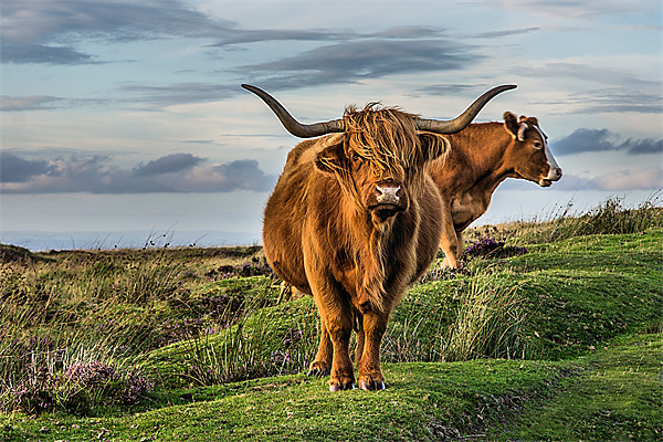 Highland Cattle Canvas print by kevin wise