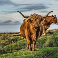 Buy canvas prints of Highland Cattle by kevin wise