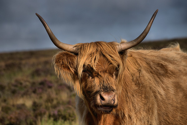 Highland Cattle 1                               Canvas Print by kevin wise