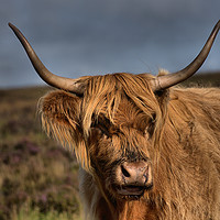 Buy canvas prints of    Highland Cattle 1                               by kevin wise