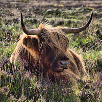Buy canvas prints of    Highland cattle 2                               by kevin wise