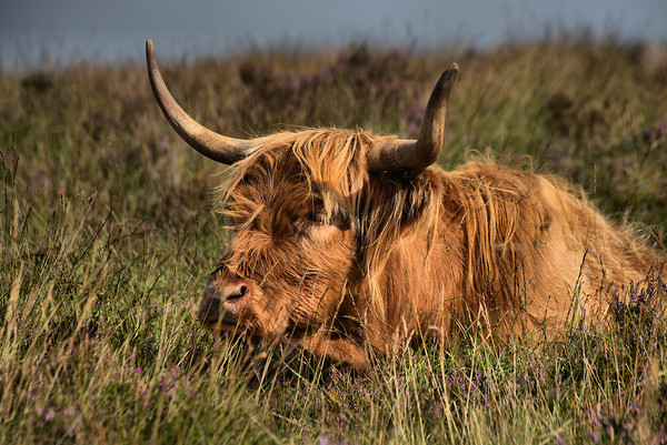 Highland cattle 3                             Canvas print by kevin wise