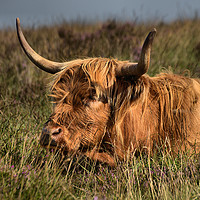 Buy canvas prints of      Highland cattle 3                             by kevin wise