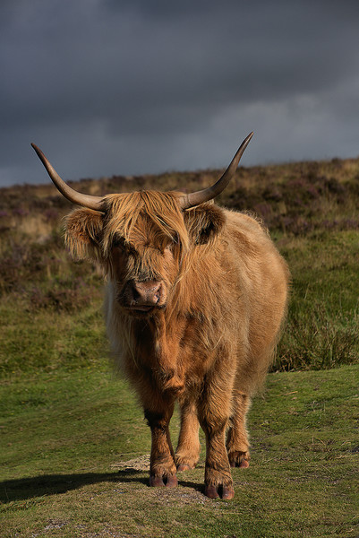 Highland cattle 5                             Canvas Print by kevin wise