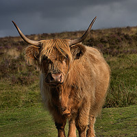Buy canvas prints of      Highland cattle 5                             by kevin wise