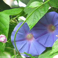 Buy canvas prints of Eden Morning Glory by Luke Newman