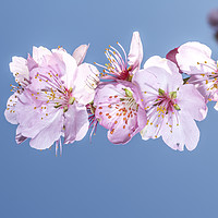 Buy canvas prints of Sakura Japanese cherry blossom by Charlie Brown