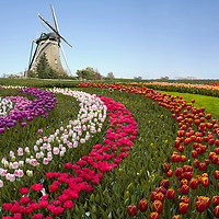 Buy canvas prints of Colorful Dutch tulip farm nested to a majestic win by Charlie Brown