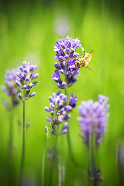 Honey bee landing on a blooming a purple lavender  Canvas print by Charlie Brown