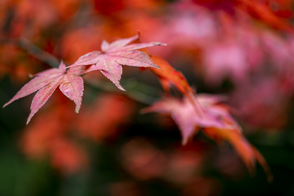 Japanese maple red leafs against a blur background Canvas print by Charlie Brown