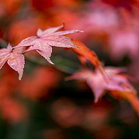 Buy canvas prints of Japanese maple red leafs against a blur background by Charlie Brown
