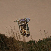 Buy canvas prints of Short Eared Owl by Rob Booth