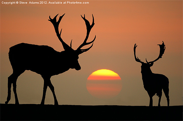Sunset Stags Canvas print by Steve  Adams