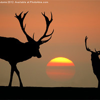 Buy canvas prints of Sunset Stags by Steve  Adams