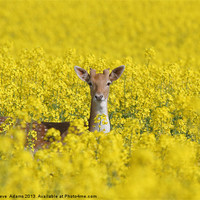 Buy canvas prints of Fallow in Yellow by Steve  Adams