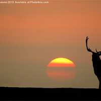 Buy canvas prints of Sunset Stag by Steve  Adams