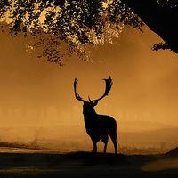 Buy canvas prints of  Fallow buck Silhouette by Steve Adams