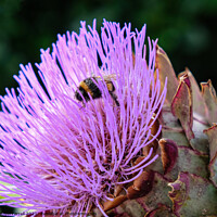 Buy canvas prints of Artichoke Thistle with Bee by Jacqui Farrell