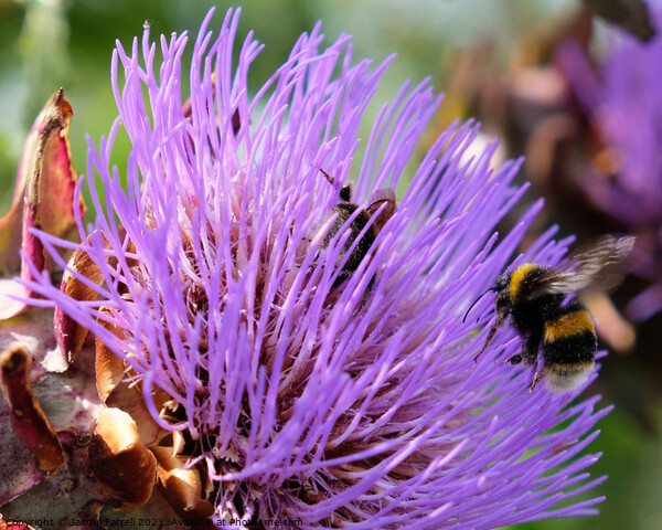 Artichoke Thistle with Bees Framed Mounted Print by Jacqui Farrell