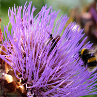 Buy canvas prints of Artichoke Thistle with Bees by Jacqui Farrell
