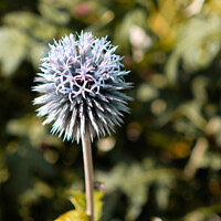 Buy canvas prints of Globe Thistle by Jacqui Farrell