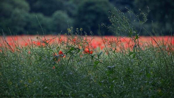 Poppy Field  Framed Mounted Print by Jacqui Farrell