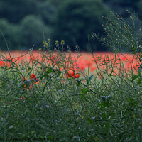 Buy canvas prints of Poppy Field  by Jacqui Farrell
