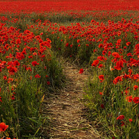 Buy canvas prints of Poppy Pathway Heacham by Jacqui Farrell