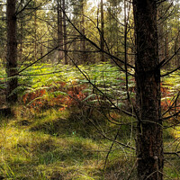 Buy canvas prints of Brandon Country Park Suffolk  by Jacqui Farrell