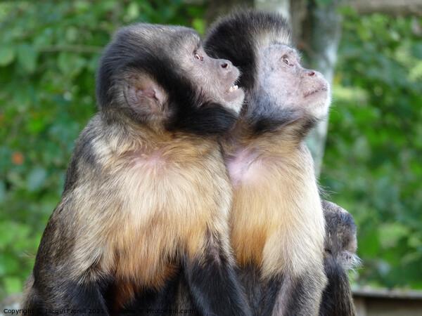 Capuchin Monkeys  Framed Mounted Print by Jacqui Farrell
