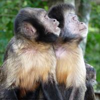 Buy canvas prints of Capuchin Monkeys  by Jacqui Farrell