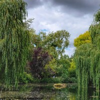 Buy canvas prints of Willow Trees  by Jacqui Farrell