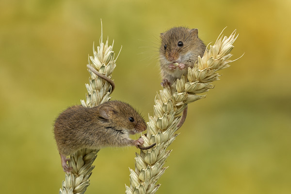 Harvest mice on Corn Canvas print by Val Saxby LRPS