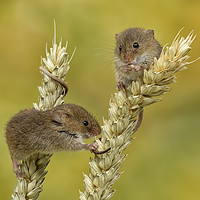 Buy canvas prints of Harvest mice on Corn by Val Saxby LRPS