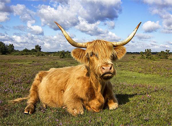 Highland Cattle in New Forest Canvas print by Jennie Franklin Landscape Prints & Canvas