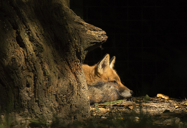 Red Fox in the Sunlight Canvas print by Jennie Franklin Landscape Prints & Canvas