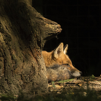 Buy canvas prints of Red Fox in the Sunlight by Jennie Franklin Landscape Prints & Canvas