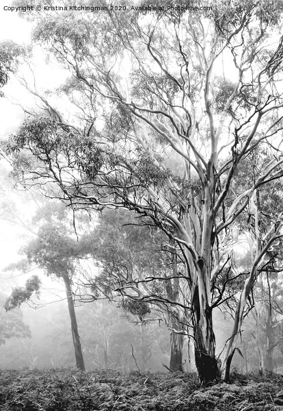 Ethereal trees in mist Canvas Print by Kristina Kitchingman