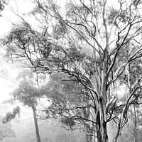 Buy canvas prints of Ethereal trees in mist by Kristina Kitchingman