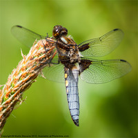 Buy canvas prints of Broad Bodied Chaser by Martin Beerens