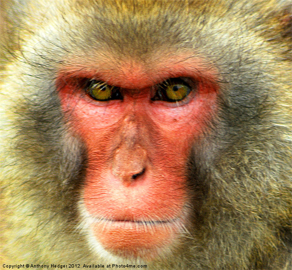 Snow Monkey - Up close and personal Print by Anthony Hedger