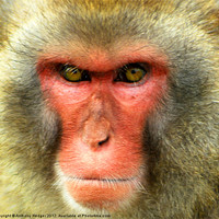 Buy canvas prints of Snow Monkey - Up close and personal by Anthony Hedger