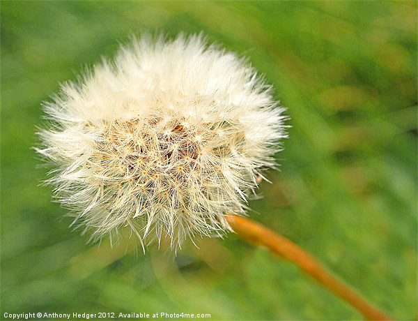 Dandelion Seed Canvas Print by Anthony Hedger