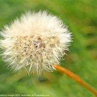 Buy canvas prints of Dandelion Seed by Anthony Hedger
