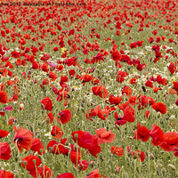 Buy canvas prints of Red Sea of Poppies by Steve Hughes