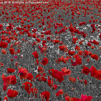 Buy canvas prints of Poppy field selective colouring by Steve Hughes