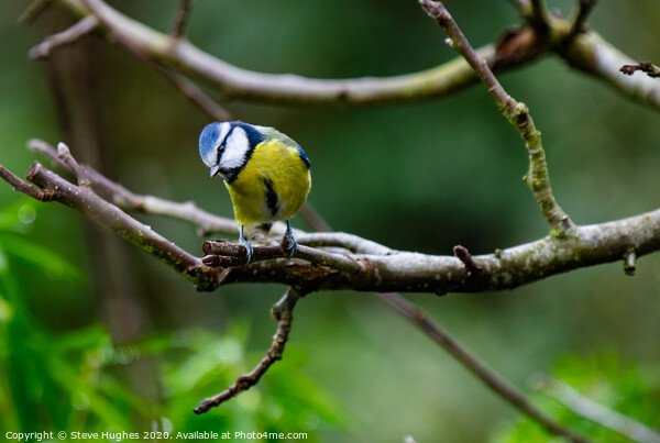 Blue Tit in the Apple tree Canvas Print by Steve Hughes