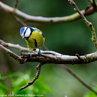 Buy canvas prints of Blue Tit in the Apple tree by Steve Hughes