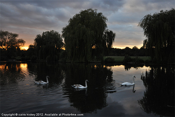 Swans at sunset Canvas print by cairis hickey
