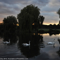 Buy canvas prints of Swans at sunset by cairis hickey